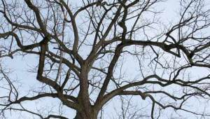 Black_walnut_tree_winter (1)